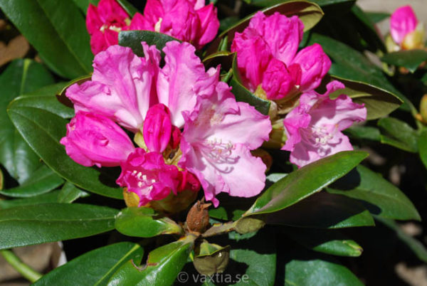 Rhododendron yakushimanum 'Polaris'-0
