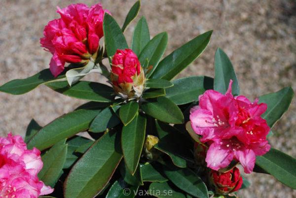 Rhododendron yakushimanum 'Tina Heinje'-823