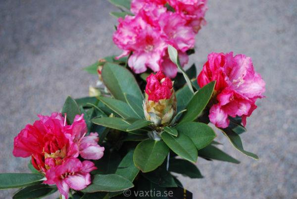 Rhododendron yakushimanum 'Tina Heinje'-824