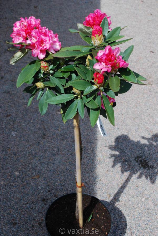 Rhododendron yakushimanum 'Tina Heinje'-0