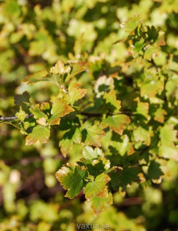 Ribes alpinum 'Schmidt'-0