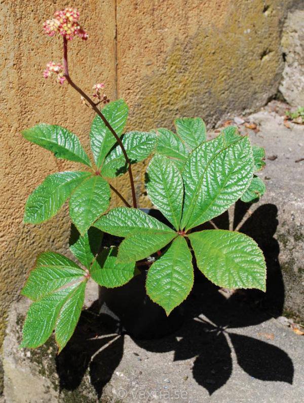 Rodgersia aesculifolia 'Herkules'-0
