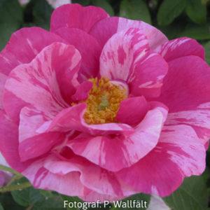 'Rosa Mundi' (R. gallica)-0
