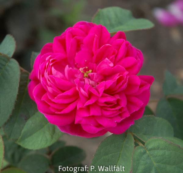 'Rose de Rescht' (R.bifera)-0