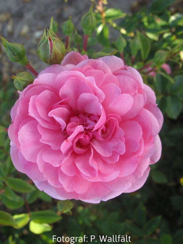 'Rosy Border' Towne & Country-0