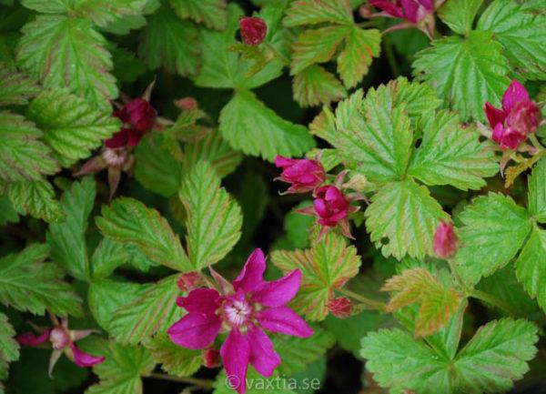Rubus stellarticus 'Anna'-0