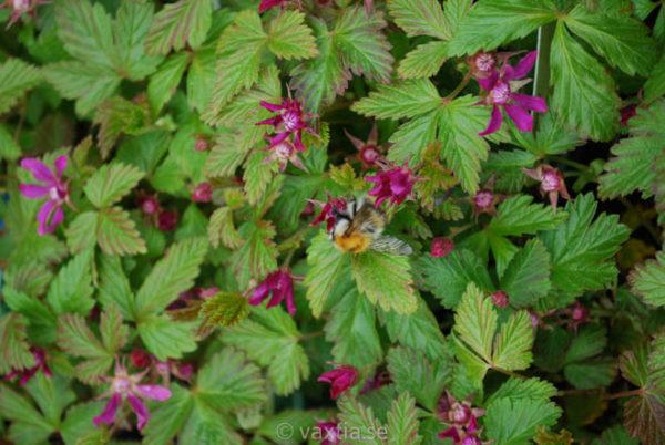 Rubus stellarticus 'Anna'-935