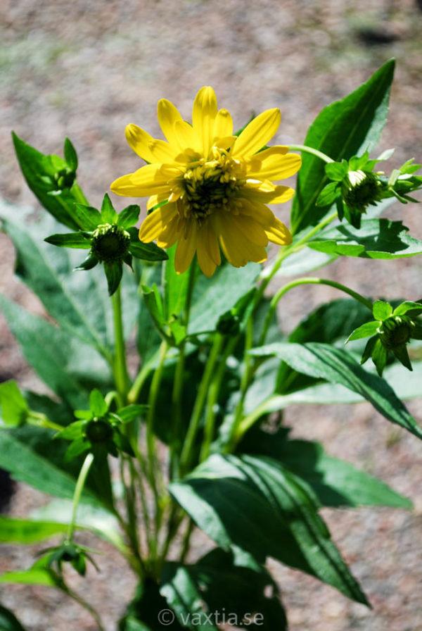 Rudbeckia laciniata 'Goldquelle'-0