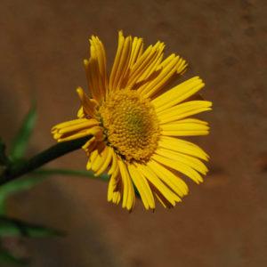 Rudbeckia fulgida 'Little Gold Star'-0