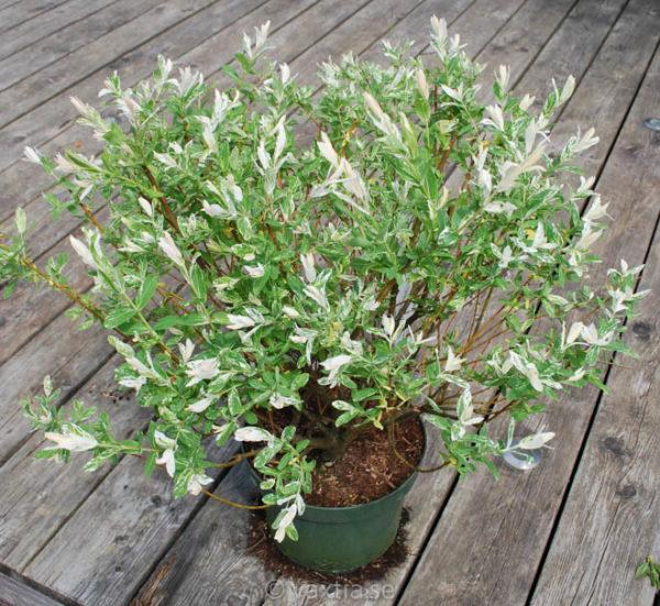 Salix integra 'Hakuro Nishiki'-1346