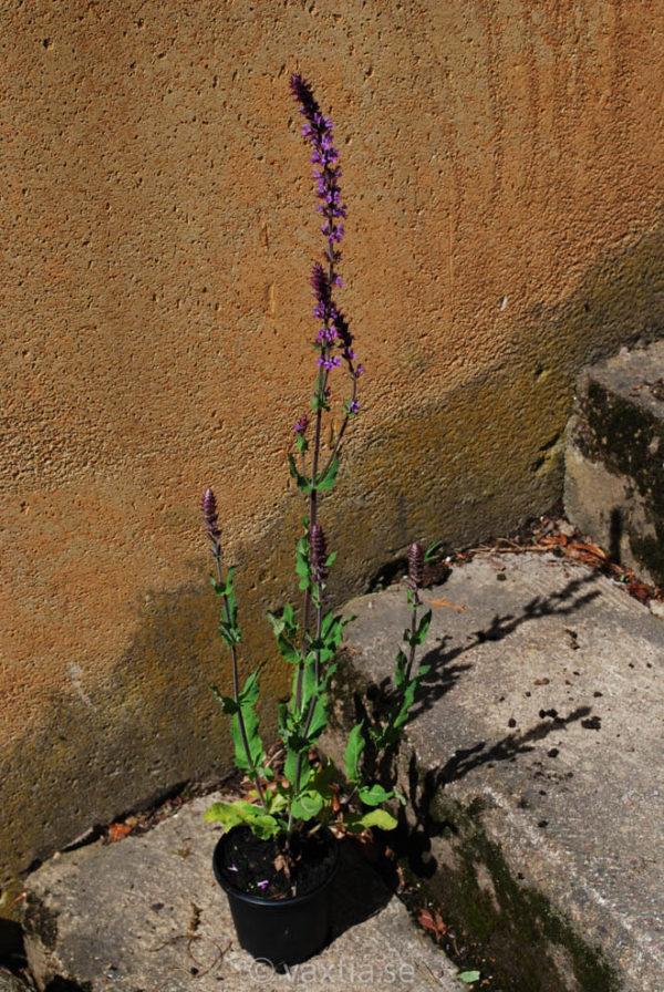 Salvia nemorosa 'Amethyst'-1588