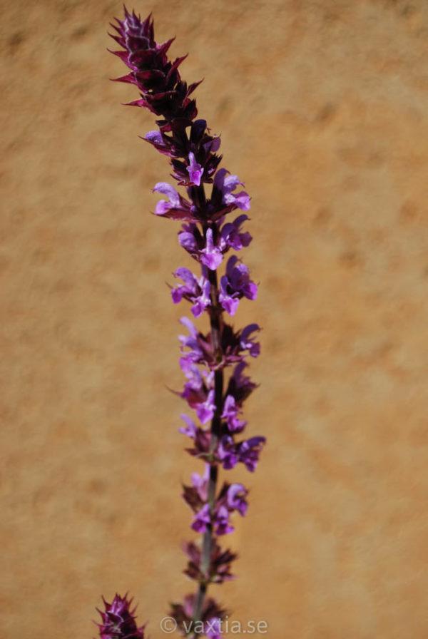 Salvia nemorosa 'Amethyst'-0