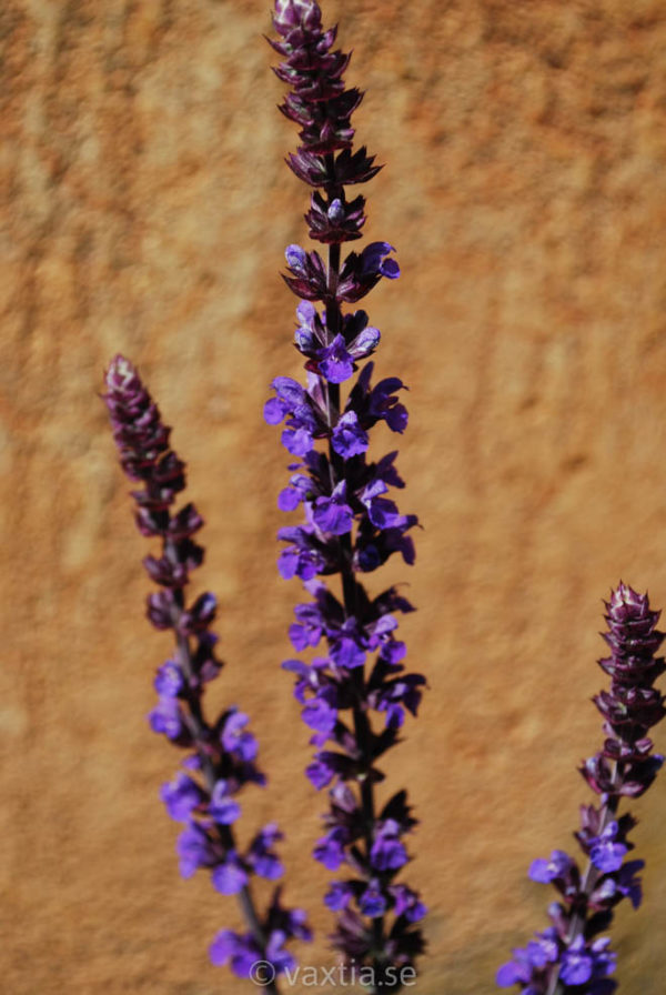 Salvia nemorosa 'Blaukönigin'-0