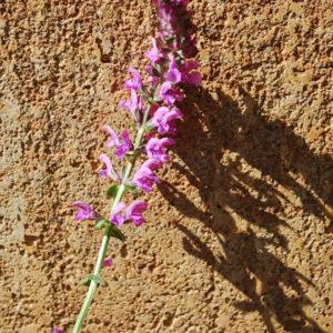 Salvia nemorosa 'Pink Friesland'-0