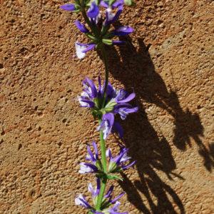 Salvia pratensis 'Madeleine'-0