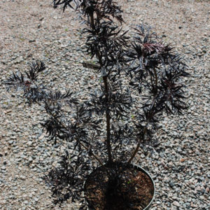 Sambucus nigra 'Black Lace' -0