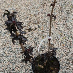 Sambucus nigra 'Black Tower' -0