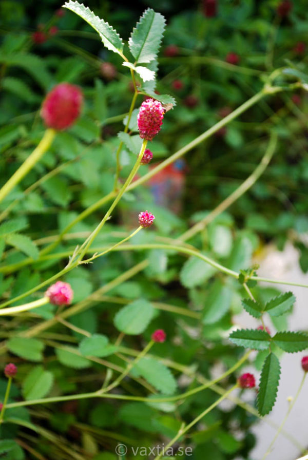Sanguisorba officinalis 'Tanna'-0
