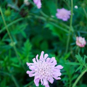 Scabiosa columbaria 'Pink Mist'-0