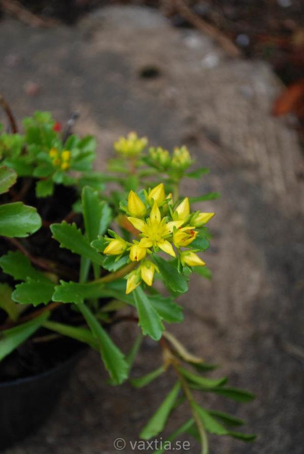 Sedum floriferum 'Weihenstephaner Gold'-0