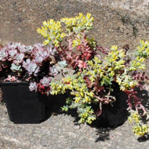 Sedum spathulifolium 'Purpureum'-0