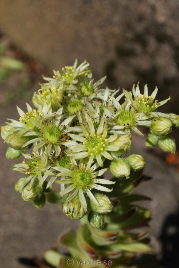 Sempervivum ciliosum-1595