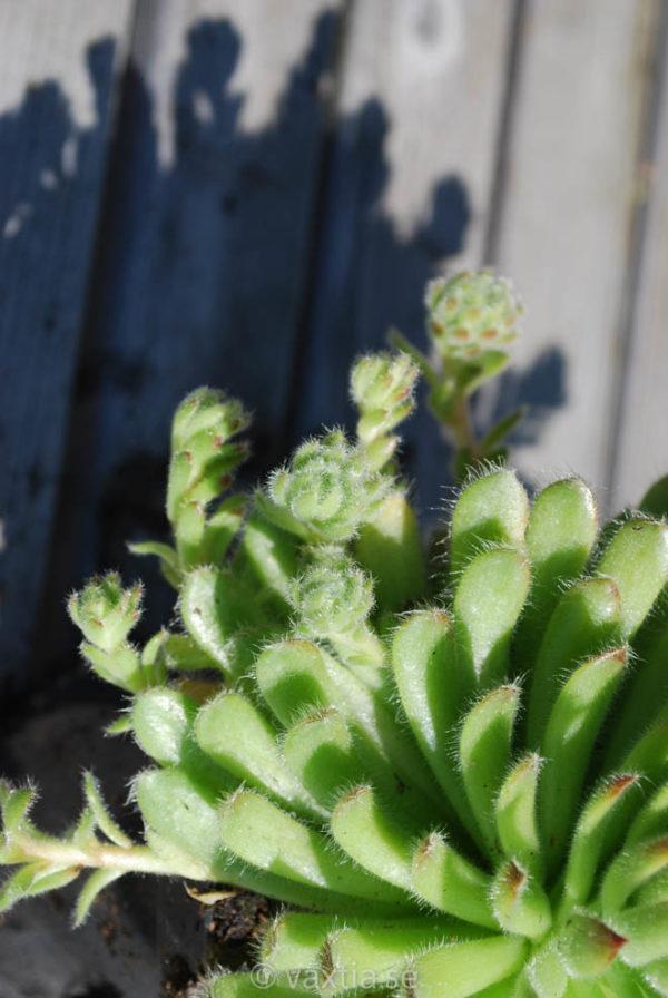 Sempervivum ciliosum-1255