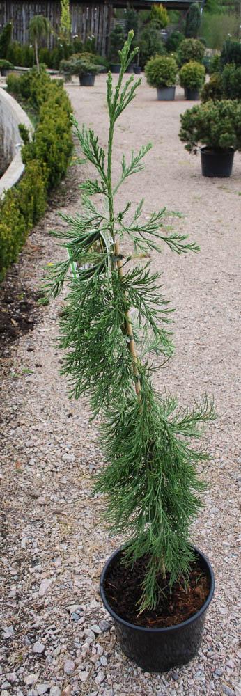 Sequoiadendron giganteum 'Pendulum'-0