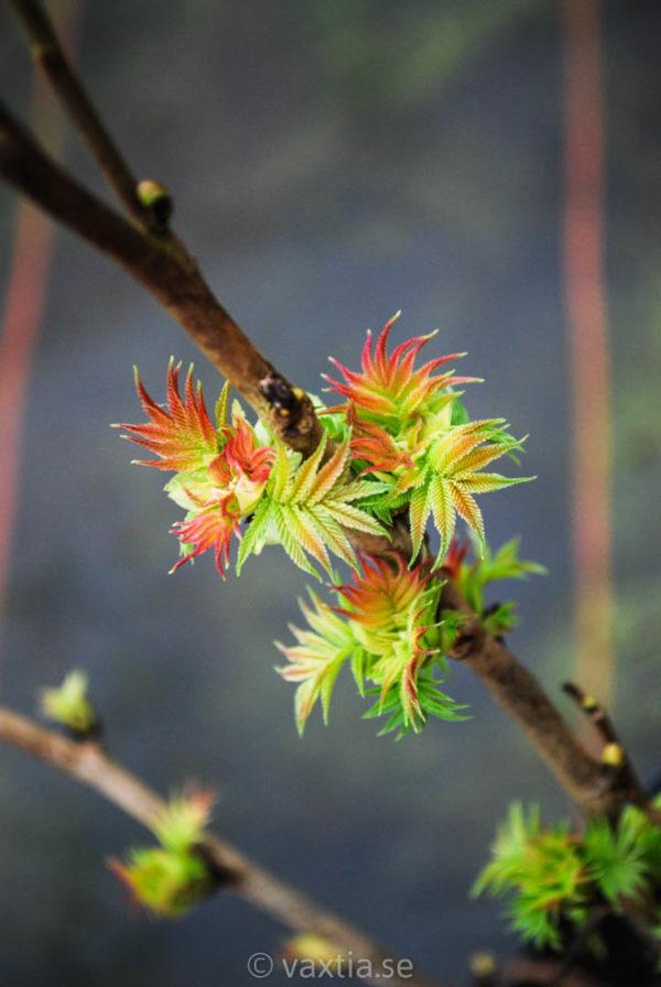 Sorbaria sorbifolia 'Sem' -0