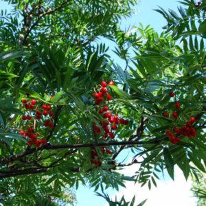 Sorbus 'Dodong'-0