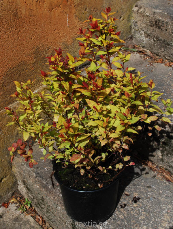 Spiraea japonica 'Magic Carpet'-1070