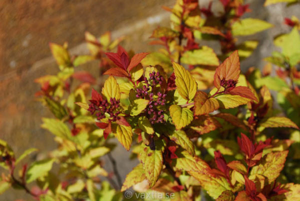 Spiraea japonica 'Magic Carpet'-0