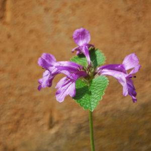 Stachys grandiflora 'Superba'-0