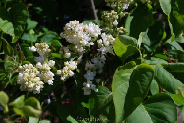 Syringa vulgaris 'Mme. Lemoine'-1306