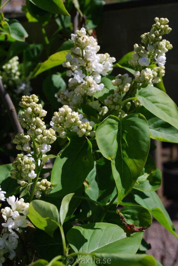 Syringa vulgaris 'Mme. Lemoine'-0
