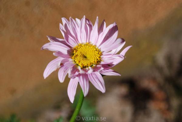 Tanacetum coccineum 'Robinsons Pink'-1518
