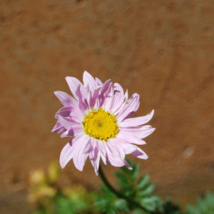 Tanacetum coccineum 'Robinsons Pink'-0