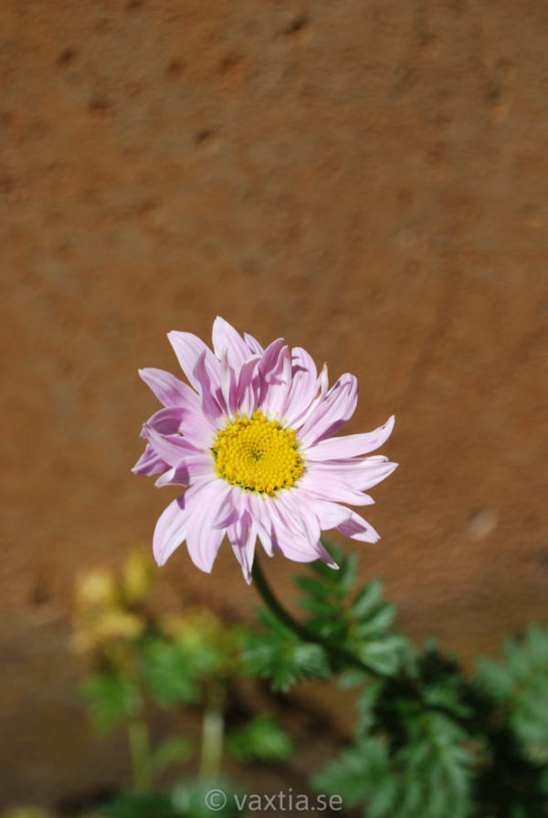 Tanacetum coccineum 'Robinsons Pink'-0