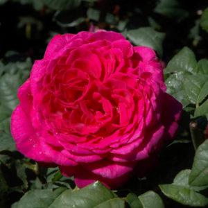'Rose Goethe' (Tehybrid)-0