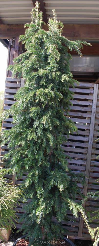 Taxus baccata 'Dovastoniana'-0