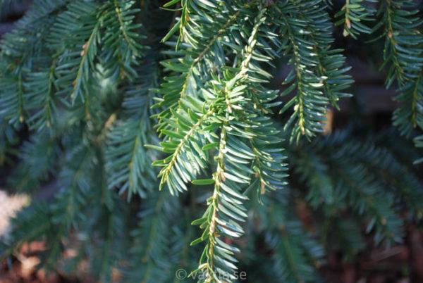 Taxus baccata 'Dovastoniana'-919