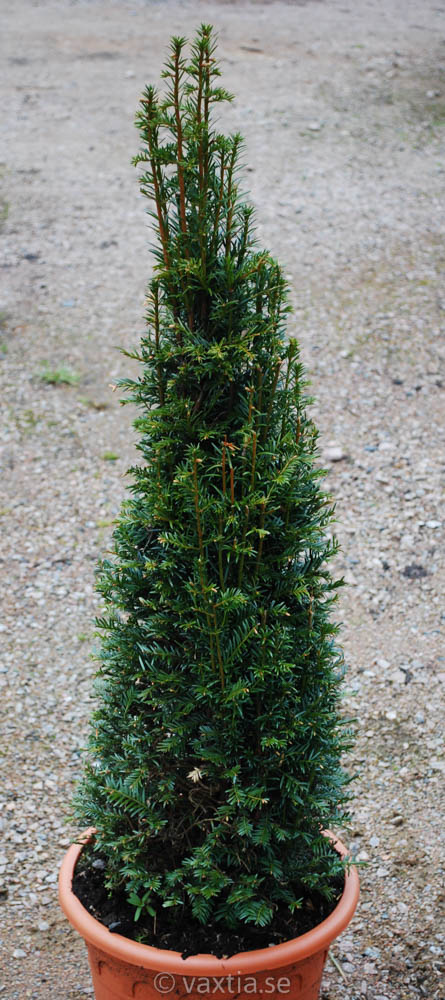 Taxus baccata-0