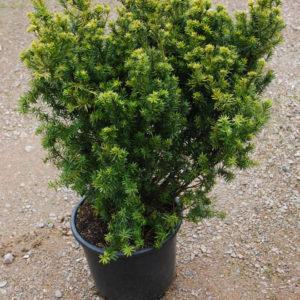 Taxus cuspidata 'Nana'-0
