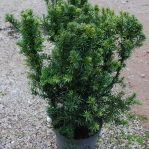 Taxus media 'Hicksii'-0