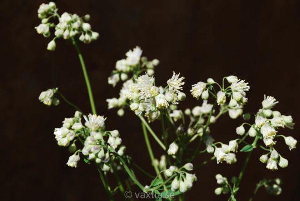Thalictrum aquilegifolium 'Alba'-1145