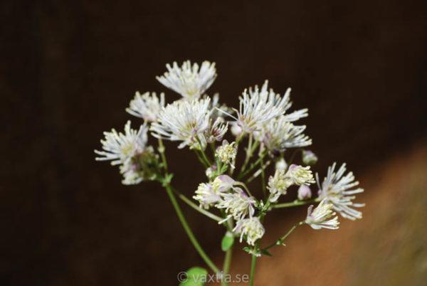Thalictrum aquilegifolium 'Alba'-0