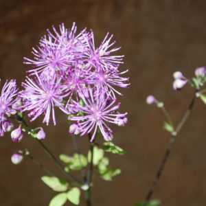 Thalictrum 'Black Stockings'-0