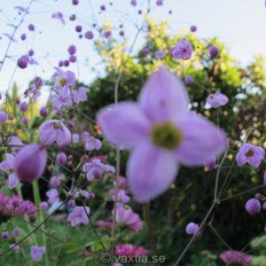 Thalictrum delavayi 'Splendide'-0