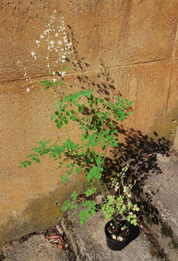 Thalictrum delavayi 'Album'-1742