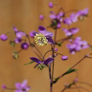 Thalictrum rochebrunianum-0